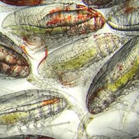Copepods: The unsung heroes of the ocean